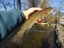 Pretty Rainbow Trout From Beaver Creek Royalty Free Stock Photo