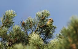 A stunning rare female Parrot Crossbill Loxia pytyopstittacus perched in the branches of a pine tree eating the cones. A pretty rare female Parrot Crossbill Stock Photos