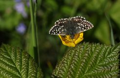 A pretty rare Grizzled Skipper Butterfly Pyrgus malvae nectaring on a buttercup flower. A rare Grizzled Skipper Butterfly Pyrgus malvae nectaring on a buttercup Royalty Free Stock Image