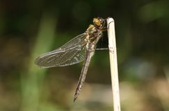 A stunning rare newly emerged Downy Emerald Dragonfly Cordulia aenea perching on a reed at the side of a pond. A pretty rare newly emerged Downy Emerald stock photography