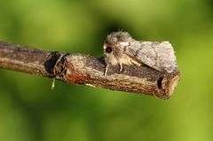 A stunning rare Oak Processionary Moth Thaumetopoea processionea perching on a twig. A pretty rare Oak Processionary Moth Thaumetopoea processionea perching on stock photo