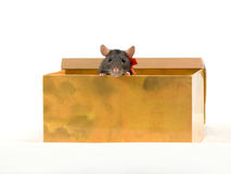 The pretty rat looks out of a box. On a white background Royalty Free Stock Image