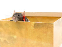 The pretty rat looks out of a box. On a white background Stock Photos