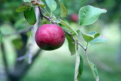 Pretty red apple on a tree branch Royalty Free Stock Image