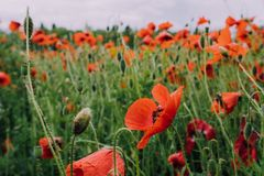 Pretty red blooming poppy flowers. Summer meadow with wildflowers in bloom. Countryside landscape.  stock photos