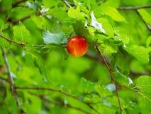 Pretty red cherry apple. Closeup shot Stock Photo