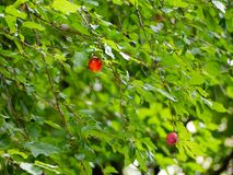 Pretty red cherry apples in green foliage. Pretty red cherry apples in lush green foliage stock images