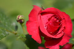 Pretty red colorful rose in full bloom with dew drops on it Stock Images
