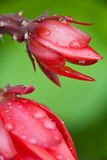 Pretty red flower. Stock Photography