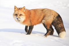 Pretty red fox Royalty Free Stock Images