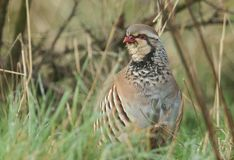 A pretty Red-Legged Partridge, Alectoris rufa, searching for food in a field in the UK. A beautiful Red-Legged Partridge, Alectoris rufa, searching for food in stock photo