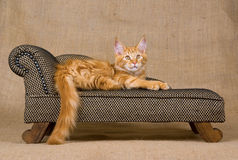 Pretty red Maine Coon kitten on sofa. Pretty and cute red and white tabby Maine Coon kitten lying on miniature sofa chaise couch against hessian background Royalty Free Stock Image