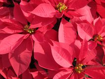 Pretty Red Poinsettias. Photo of pretty red poinsettias during christmas royalty free stock images