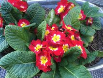 Pretty Primroses. Pretty red primroses are a reminder that spring is around the corner Stock Photography