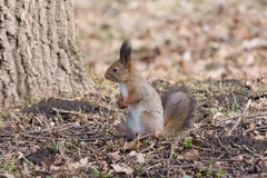 Pretty red squirell stands on paws and looks to the side. Royalty Free Stock Photo