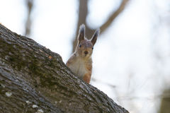 Pretty red squirrel on a tree trunk. Royalty Free Stock Photos