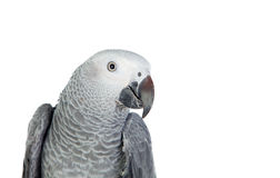Pretty red-tailed gray parrot Stock Photography