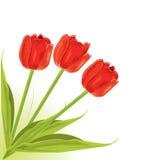 Pretty red tulips Stock Photo