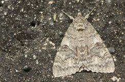 A beautiful Red Underwing Catocala nupta perching on a wall in the UK. stock photography