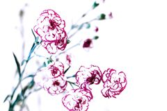Pretty red and white Carnations Background royalty free stock image