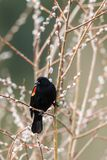 Portrait of red-winged blackbird on twig. Royalty Free Stock Photography