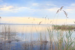 Pretty reeds swaying softly in blue golden Lake Royalty Free Stock Photography