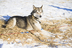 Pretty resting husky dog Royalty Free Stock Photos