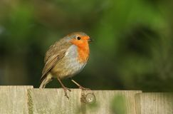 A pretty Robin Erithacus rubecula perched on a wooden fence in the sun. A Robin Erithacus rubecula perched on a wooden fence in the sun Stock Photos