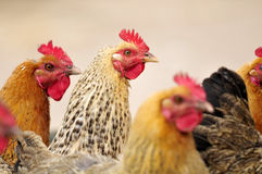 Pretty rooster Royalty Free Stock Photo