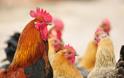 Pretty rooster Royalty Free Stock Photography