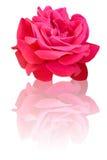 Pretty rose Stock Image