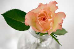 Pretty Rose and and one green Leaf royalty free stock photos