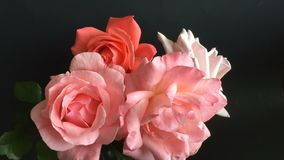 Pretty  roses blossoming out stock video