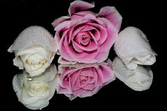 Pretty roses. Love with roses Stock Image