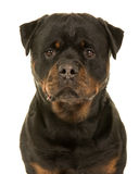 Pretty rottweiler portrait Royalty Free Stock Photos