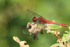 A Ruddy Darter Dragonfly Sympetrum sanguineum perched on a plant. Stock Images