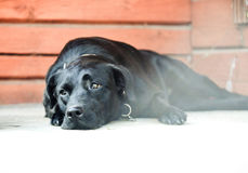 Pretty sad black dog labrador Royalty Free Stock Photos