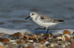 A Stunning Sanderling Calidris alba searching for food along the shoreline at high tide. A pretty Sanderling Calidris alba searching for food along the Royalty Free Stock Photography