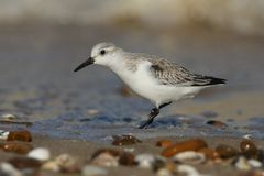 A Stunning Sanderling Calidris alba searching for food along the shoreline at high tide. A pretty Sanderling Calidris alba searching for food along the Stock Photography