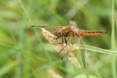 A stunning Scarce Chaser Dragonfly Libellula fulva perching on a grass seed head. royalty free stock image