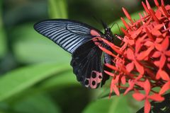 Pretty Scarlet Mormon Swallowtail Butterfly on Red Flowers. Scarlet swallowtail butterfly on a cluster of red flowers royalty free stock photography