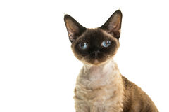 Pretty seal point devon rex cat portrait with blue eyes looking straight into the camera Stock Image