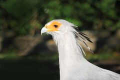 Pretty Secretary Bird Stock Photo