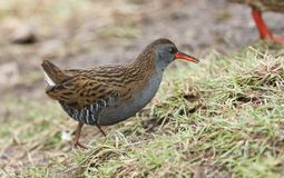 A stunning secretive Water Rail Rallus aquaticus searching for food along the bank of a lake. A pretty secretive Water Rail Rallus aquaticus searching for food stock photography