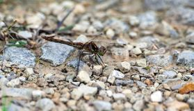 Pretty shades of different color dragonfly sits on on the road Royalty Free Stock Image