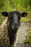 Pretty sheep Royalty Free Stock Image
