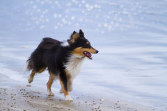Pretty Sheltie Royalty Free Stock Images