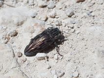 Pretty shinny & x28;not so& x29; little flying bug of Mallorca royalty free stock images