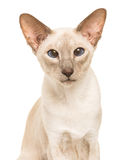 Pretty siamese cat with blue eyes Royalty Free Stock Photos