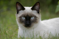 Pretty Siamese Cat Stock Image